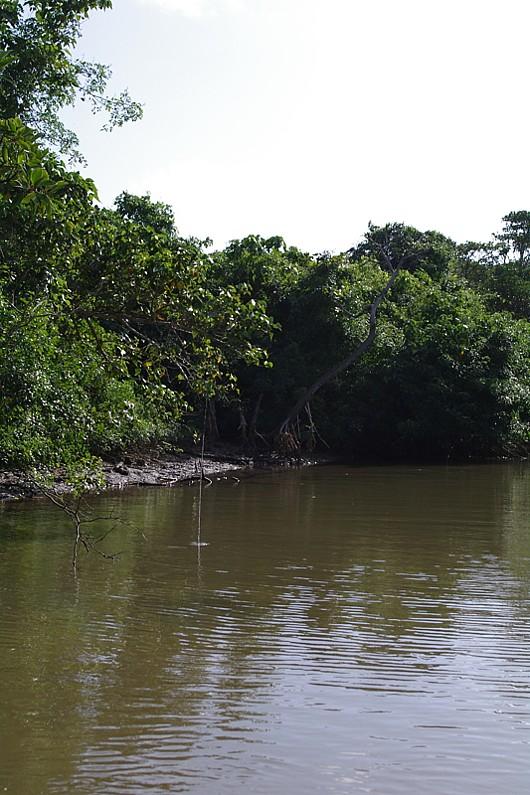 小船でマングローブの川を上る。