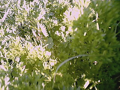 黄アゲハの幼虫