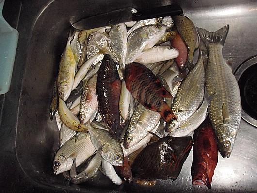 下のクマドリ(カワハギ)はカニ取り用に冷凍。