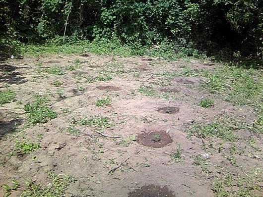 一月前のパパイヤ畑